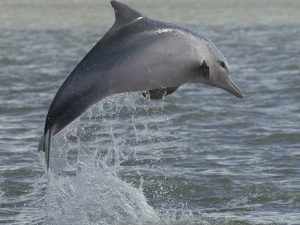 dolhins in suriname