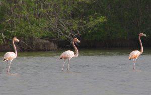 flamingos in suriname