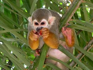 monkey in suriname